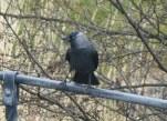 A Hoodie Crow.