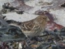 Little bird that was foraging in the seaweed.