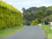 Wonderful Cypress hedges