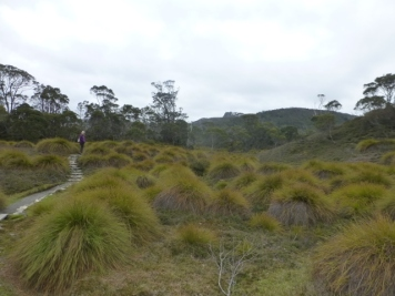 Button Grass -great for hiding Wombats.
