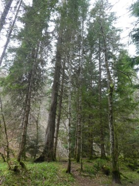 The tallest Fir Trees in the forest.